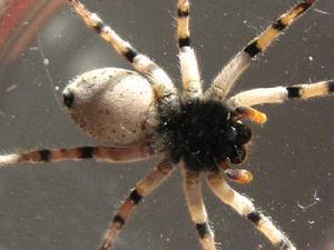 研究发现:蜘蛛毒液中的化合物有积极的用途