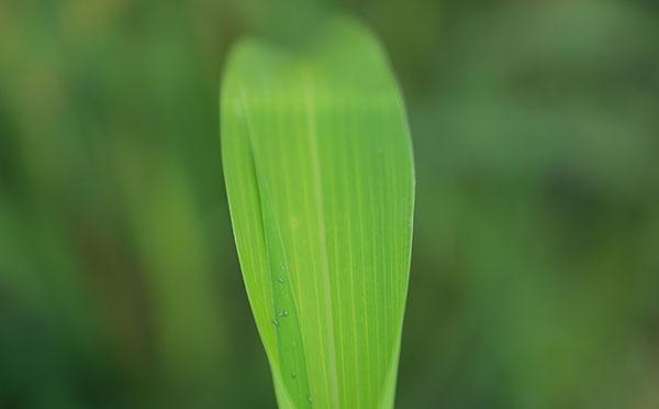 """""""丰收""""喜讯:我国研发出经济适用型杂交水稻制种机械"""